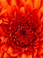Chrysanthemum_2